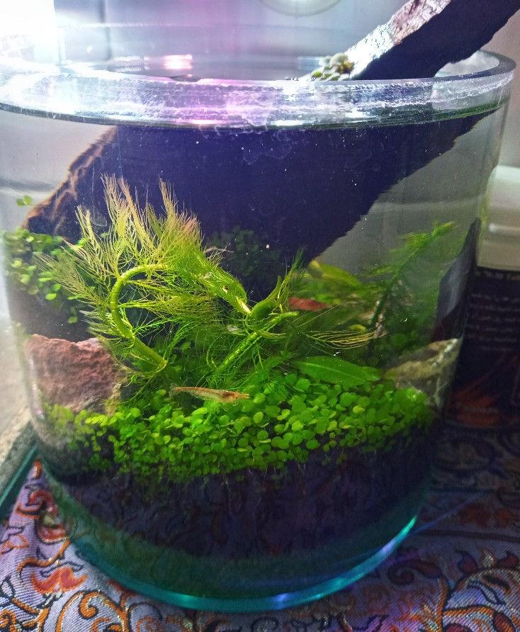 دکورآلین تراریوم ابی یک جنگل زیر آب به همان زیبایی و آرامش بخشی ،گیاه های طبیعی میگو یا ماهی و سنگ و چوب کنار هم یک فضای زیبا و عالی را فراهم میکنن*******  قیمت نسبت به سایز تنگ مشخص میشود ******